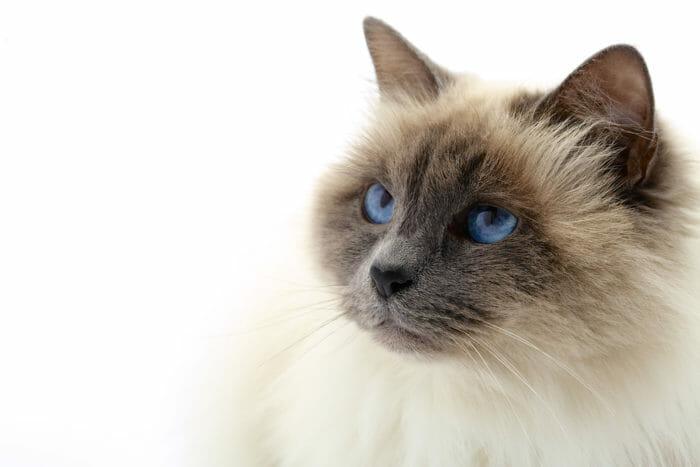 Gatti che non perdono pelo e sono anallergici: i nostri consigli