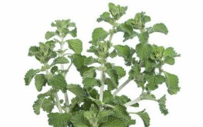 Marrubio: proprietà e modalità d'uso di questa pianta officinale