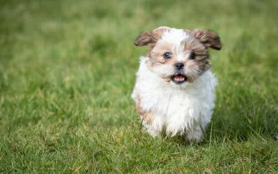 Cani Che Non Perdono Pelo Cani Ipoallergenici Consigliati Tuttogreen
