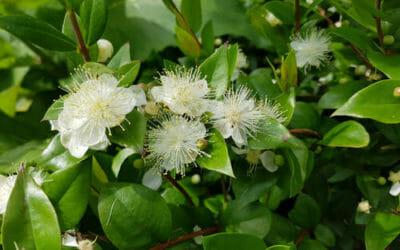 Mirto: caratteristiche e proprietà della pianta aromatica simbolo della Sardegna