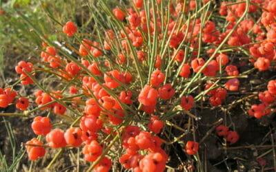 Efedra: proprietà, utilizzi e controindicazioni di questa pianta