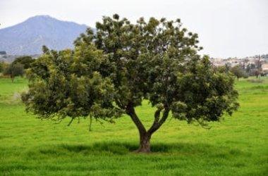 L'albero di carrubo e il suo frutto: la guida facile