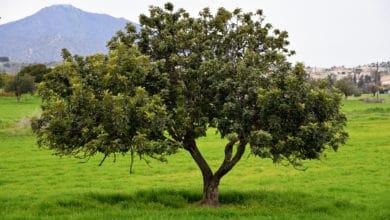 Photo of L'albero di carrubo e il suo frutto: la guida facile