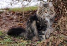 Photo of Alla scoperta del gatto delle foreste norvegesi, una delle razze di gatti più suggestiva