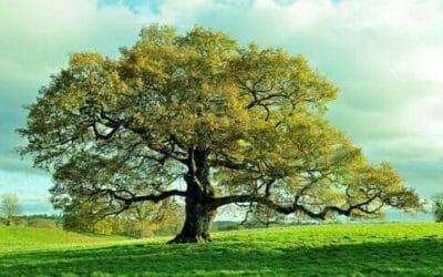 Quercia: caratteristiche e proprietà di questo albero secolare