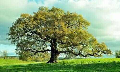 Photo of Quercia: caratteristiche e proprietà di questo albero secolare