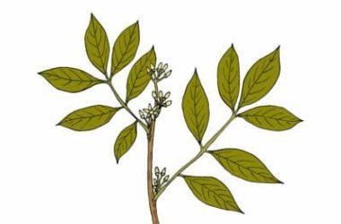 Muira puama: proprietà e controindicazioni dell'erba dell'amore