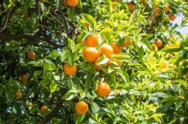 Sinefrina: proprietà e controindicazioni dell'estratto di Citrum Aurantium