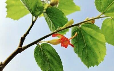 Gymnema: proprietà e controindicazioni della pianta anti-zuccheri