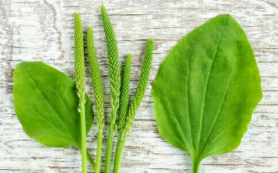 Psillio: proprietà e utilizzi di una pianta dalle mille virtù