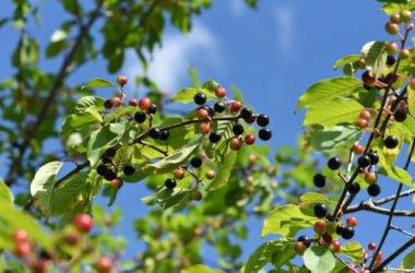 Frangola: proprietà, utilizzi e controindicazioni di questa pianta