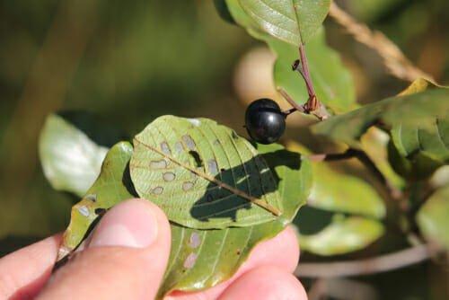 Photo of Frangola: proprietà, utilizzi e controindicazioni di questa pianta
