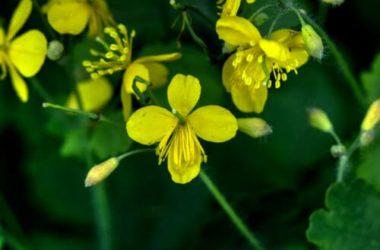 Celidonia: pianta, usi, proprietà e controindicazioni
