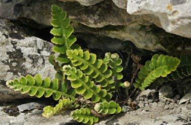 Spaccapietra: proprietà e utilizzi di questa pianta medicinale