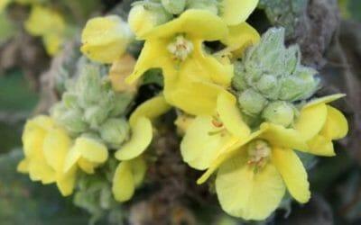 Verbasco: proprietà benefiche e utilizzi della pianta della tosse