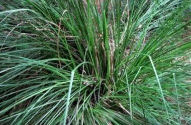Vetiver: proprietà e utilizzi della pianta tropicale e del suo olio essenziale