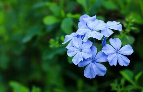 Plumbago: tutto su questa pianta rampicante decorativa