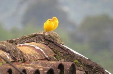 Tutto sul canarino: dall'alimentazione alla gabbia, le cose cui fare attenzione per il suo benessere