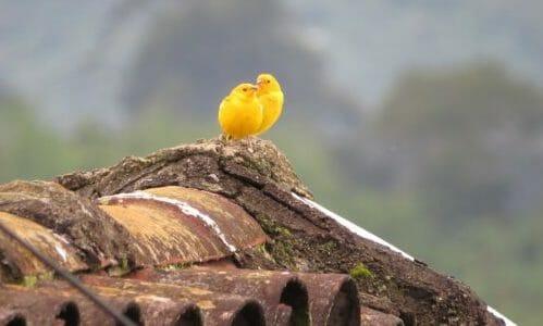 Photo of Tutto sul canarino: dall'alimentazione alla gabbia, le cose cui fare attenzione per il suo benessere