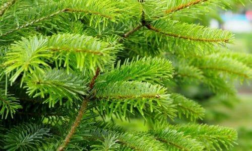 Conifere caratteristiche delle piante ed esemplari da for Conifere da giardino
