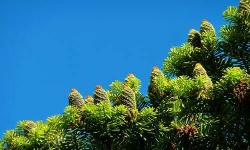 Photo of Conifere: caratteristiche delle piante ed esemplari da coltivare in giardino