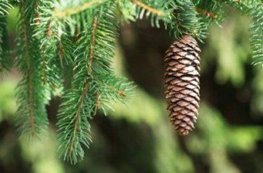 Conifere: caratteristiche delle piante ed esemplari da coltivare in giardino