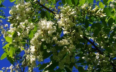 Robinia: l'albero dalle mille virtù