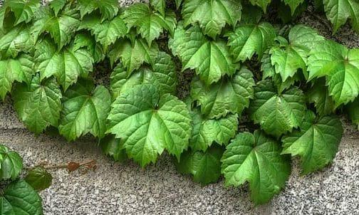 Photo of Fumaggine: come si manifesta sulle piante e possibili interventi