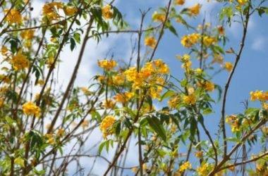 Uncaria: proprietà e usi di questo immunostimolante naturale