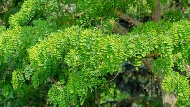 Photo of Robinia: un albero dalle mille virtù