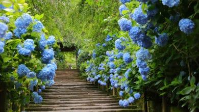 Photo of Come coltivare l'ortensia: la guida pratica per questo stupendo arbusto dai fiori enormi