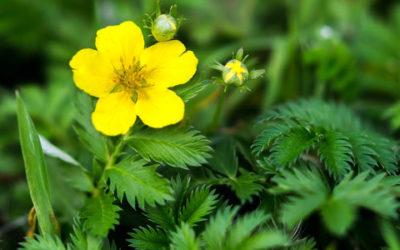 Potentilla o cinquefoglia: caratteristiche di una pianta ottima per alleviare dolori mestruali e disturbi gastrointestinali