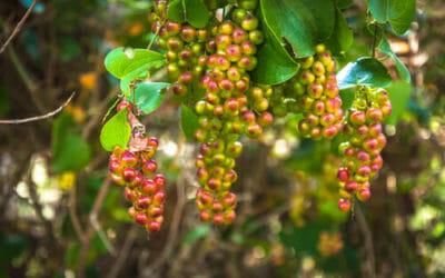 Salsapariglia: la pianta che fa bene a uomo e ambiente