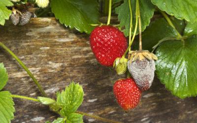 Conoscere e prevenire la muffa grigia o botrite, un fungo pericoloso per le piante