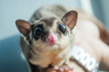 Il petauro dello zucchero: tutto su questo marsupiale sempre più popolare