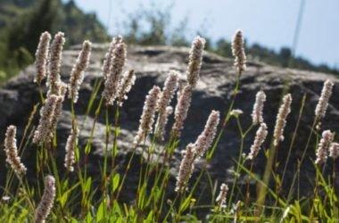 Cimicifuga: proprietà, benefici per la menopausa ed effetti collaterali