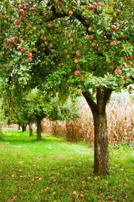 piantare un albero di mele