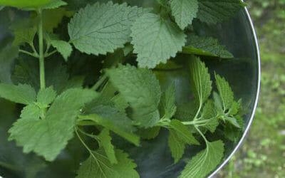 Macerato d'ortica: antiparassitario e fertilizzante naturale per l'orto biologico