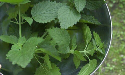 Photo of Macerato d'ortica: antiparassitario e fertilizzante naturale per l'orto biologico