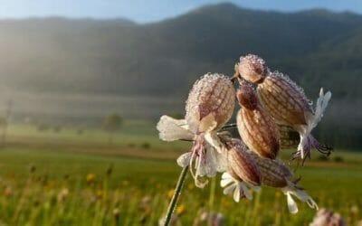 Silene: tutte le virtù di quest'erba dall'azione emolliente usata sia in cosmetica che in cucina