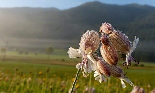 Photo of Silene: tutte le virtù di quest'erba dall'azione emolliente usata sia in cosmetica che in cucina