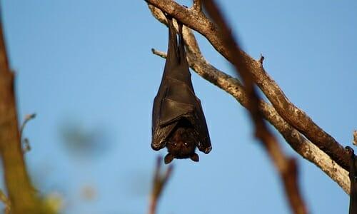 Photo of Quello che non tutti sanno sul pipistrello, un animale prezioso per l'ambiente e l'uomo