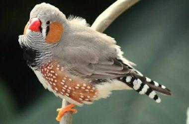 Diamante mandarino: la nostra guida ad un adorabile uccellino ben poco canterino