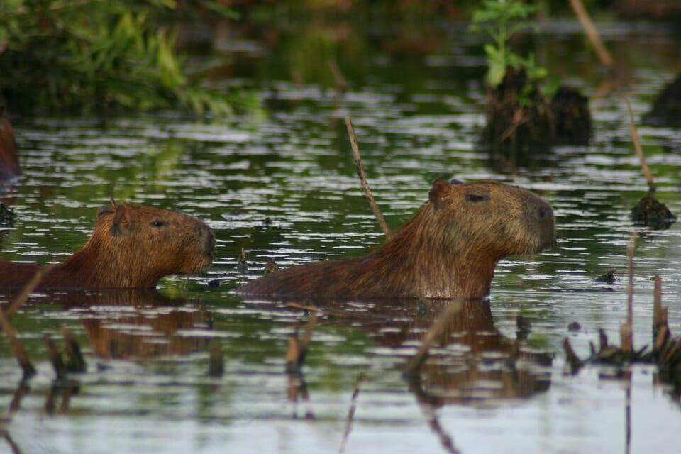 Photo of Capibara o carpincho: quello che c'è da sapere sul roditore di maggiori dimensioni esistente