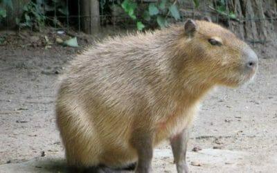 Capibara o carpincho: quello che c'è da sapere sul roditore di maggiori dimensioni esistente