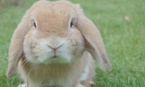 Photo of Il coniglio gigante: quello che c'è da sapere su questo coniglio davvero oversize