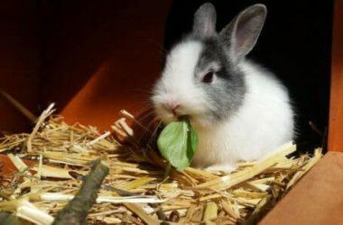 Tutto sul coniglio nano o toy: un compagno che richiede cura e attenzioni