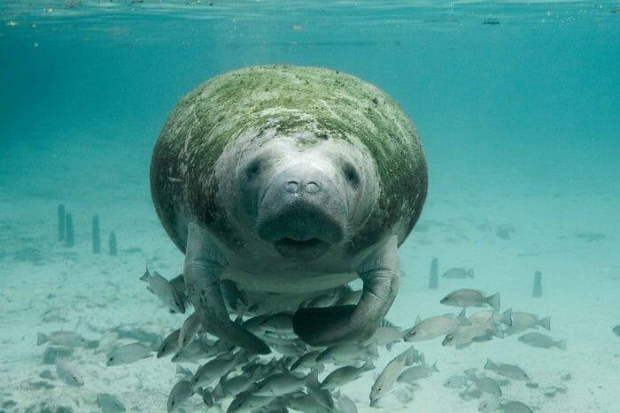 dugongo