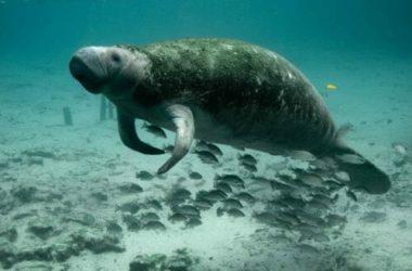 Dugongo: tutto quello che c'è da sapere su questo curioso animale