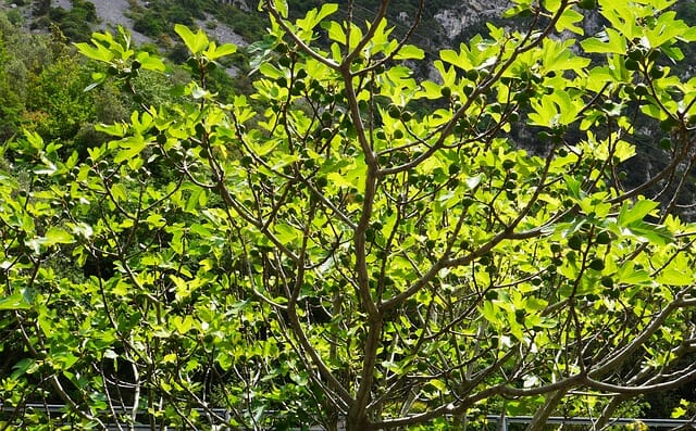 albero di fico caratteristiche